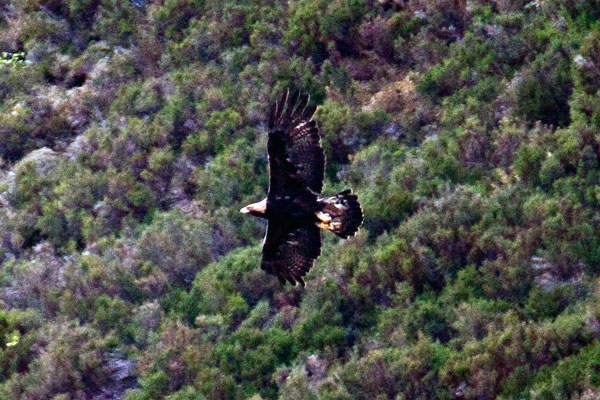 golden eagle flying. Golden Eagle